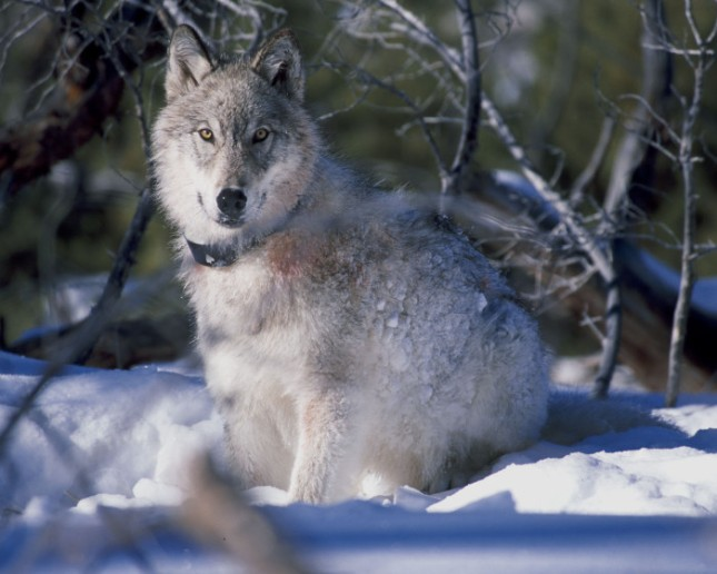 Wisconsin plans to slaughter 275 more wolves this fall.