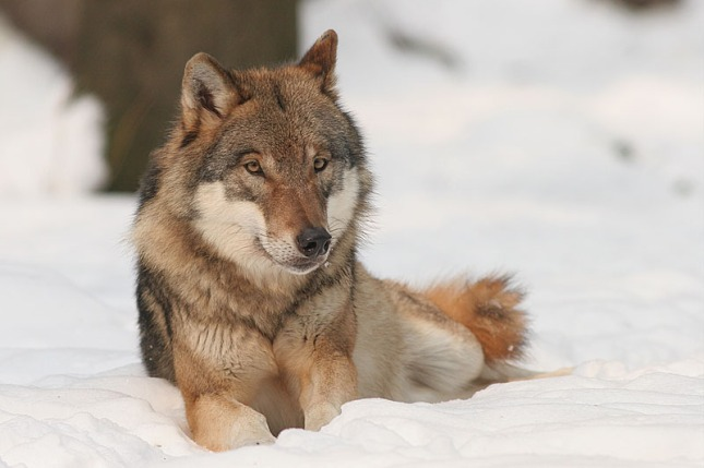 "According to William Bruins of the Wisconsin Natural Resources Board  ""God created homo sapiens to manage wolves."""