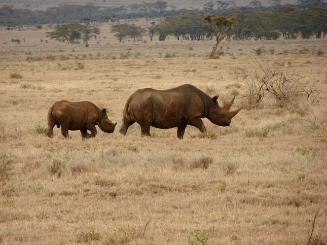 A HIGHLY ENDANGERED black rhino and her calf