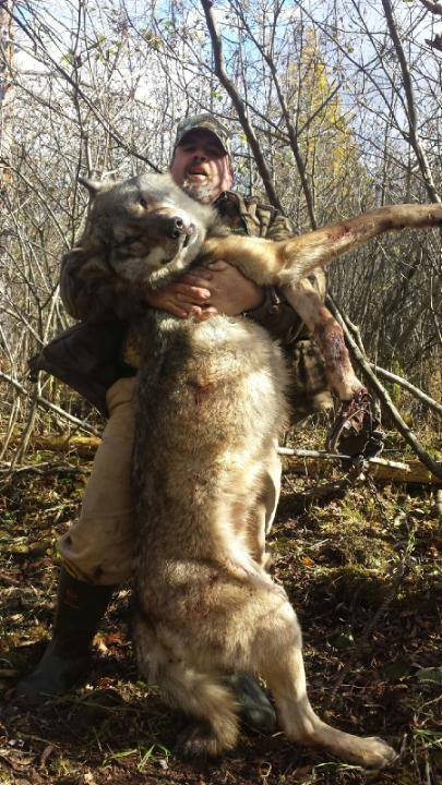 This wolf apparently was forced to drag around a trap for a week before being executed near Portage, WI last week.