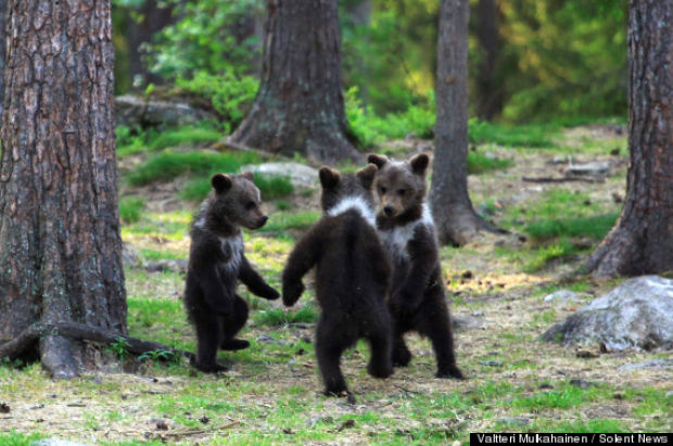 PE teacher Valtteri Mulkahainen, 52, witnessed this magical moment of brown bears dancing in a circle in eastern Finland. Read more: http://host.madison.com/news/opinion/column/patricia-randolph-s-madravenspeak-life-is-no-ring-around-the/article_f192e933-2f15-5153-911c-41fcabaead7c.html#ixzz2oEAFll9Z