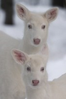 Madravenspeak Column # 86 Albino deer-1