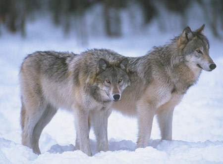 corel-wolf