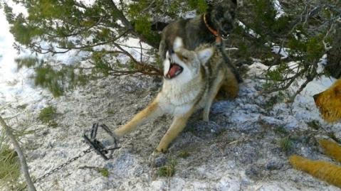 jamie olson coyote pic