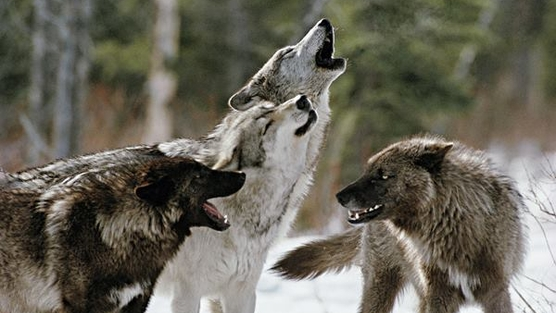 Αποτέλεσμα εικόνας για wolves in siberia