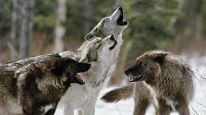 latvia wolves