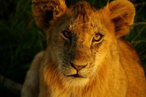 lion_53b98b222b9a3.preview-300