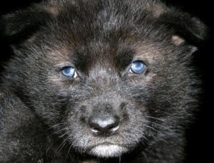 a wolf pup