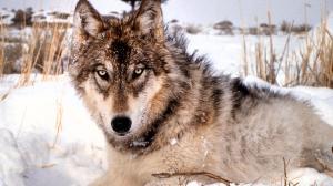 gy wolf_06nov12_0667_1