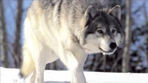 nnc_wolf