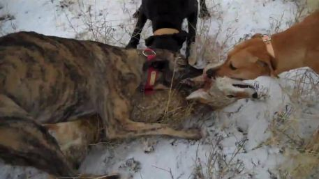 coyote-hunting-with-dogs-hd_hd.original